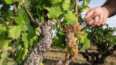 Photo of En ny hvidvin har set dagens lys i Ribera del Duero
