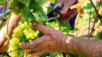 Photo of Den tyske vinhøst 2019 er mindre end normalt