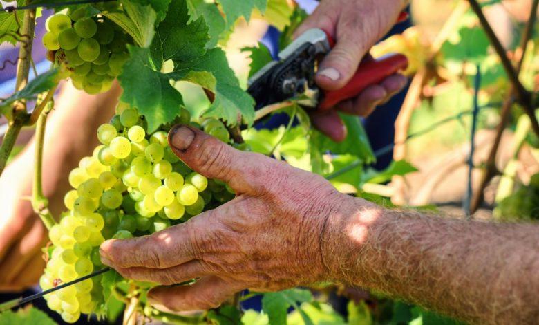 Tysk vinhøst