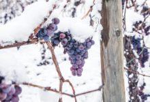 Photo of Mild vinter giver svære betingelser for Eiswein