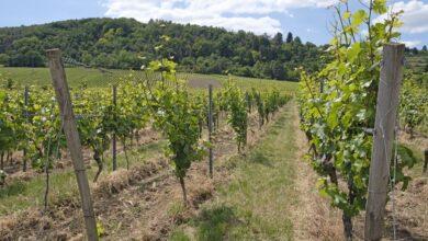 Photo of Tysk vingård udsat for groft hærværk